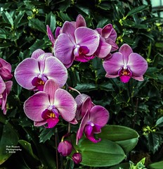 Orchids Pink. (rumerbob) Tags: longwoodgardens orchidpink orchidwhite orchid flower floral flowergarden fauna flowerphoto nature naturewatcher naturephotography botany botanicalgardens botanical canon7dmarkii canonef247028liiusm