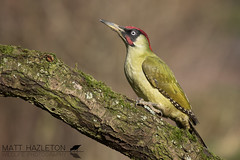 Green woodpecker (Matt Hazleton) Tags: picusviridis greenwoodpecker woodpecker bird nature animal wildlife outdoor canon canoneos7dmk2 canon100400mm eos 7dmk2 100400mm matthazleton matthazphoto lincolnshire