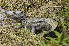 20200216-ANWR.073 (Scott Sanford Photography) Tags: 5dmarkiv canon ef100400mmf4556lisiiusm eos gulfcoast nationalwildliferefuge naturallight nature outdoor texas water wildlife alligator reptile