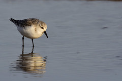 Sanderling Titchwell RSPB Norfolk b2 (JohnMannPhoto) Tags: sanderling titchwell rspb norfolk waders beach