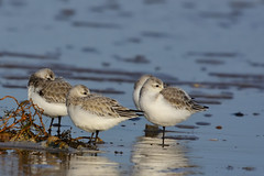 Sanderling Titchwell RSPB Norfolk b5 (JohnMannPhoto) Tags: sanderling titchwell rspb norfolk waders beach