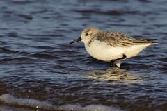 Sanderling Titchwell RSPB Norfolk b6 (JohnMannPhoto) Tags: sanderling titchwell rspb norfolk waders beach