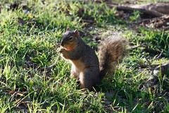 munch (G Gandy) Tags: xf55200mm squirrel