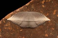 Hooktip Moth (Microblepsis leucosticta, Drepaninae, Drepanidae) (John Horstman (itchydogimages, SINOBUG)) Tags: insect macro china yunnan itchydogimages sinobug entomology canon moth lepidoptera hooktip drepanidae grey fbipm