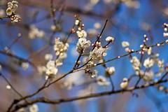 White Plums (tez-guitar) Tags: plum plumblossom floom flower branch sagamihara leica leicacl voightlander