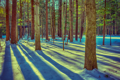 _DSC2629 Whiting Forest (Charles Bonham) Tags: winter shadows warm cool sun colorcontrast longshadows whitingforest trees snow sonya7rll sonyzeissfe1635mmf4 pines charlesbonhamphotography
