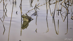 20200216-ANWR.082 (Scott Sanford Photography) Tags: 5dmarkiv canon ef100400mmf4556lisiiusm eos gulfcoast nationalwildliferefuge naturallight nature outdoor texas water wildlife alligator reptile