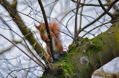 Saft ablecken (KaAuenwasser) Tags: eichhörnchen tier säugetier fell baum ast zweig baumkrone holz saft süs leckenablecken trinken botanischergarten garten park februar 2020
