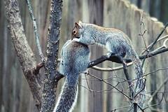 Squirrel Love (Anne Ahearne) Tags: wild animal nature wildlife cute gray grey squirrels easterngraysquirrel tree preening love mates animalplanet