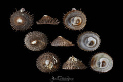 Crucibulum spinosum (Sowerby, 1824) (Gabriel Paladino Photography) Tags: crucibulum spinosum spinycupandsaucersnail species seasnail marine gastropod mollusk calyptraeidae slippersnail cupandsaucersnail scientificclassification animalia mollusca gastropoda caenogastropoda hypsogastropoda littorinimorpha calyptraeoidea peru concha caracol shell seashell collection mollusques gastéropodes slipperlimpets gabrielpaladinoibañez nature natural naturaleza fauna animal