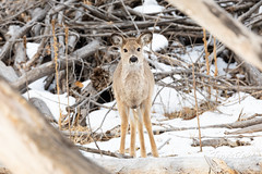 February 16, 2020 - Very cute young white-tailed deer. (Tony's Takes)