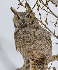 February 9, 2020 - A great horned owl waiting out the storm. (Bill Hutchinson)
