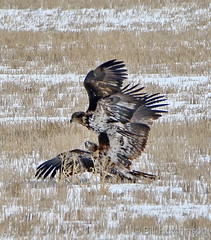 February 12, 2020 - Bald eagles battle on the plains. (Bill Hutchinson)
