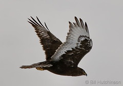 February 16, 2020 - A dark morph ferruginous hawk in flight. (Bill Hutchinson)