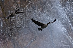 Shower time! (janagoss32) Tags: flying ice water freezing winter2020 pond fountain shower canadageese