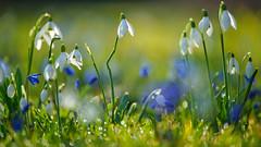 Viele zarte Blüten (KaAuenwasser) Tags: schneeglöckchen blausterne blaustern blau blüten weis blumen wiese zart klein fein februar 2020 botanischergarten garten park ort stelle platz rasen gras gräser zier zierblumen licht schatten sonnenlicht jahreszeit makro nah ngc twop