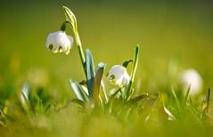 Märzenbecher (KaAuenwasser) Tags: märzenbecher frühlingsknotenblume blüten blüte zier zierblume pflanze wiese garten park rasen botanischergartenkarlsruhe botanischergarten februar 2020 licht