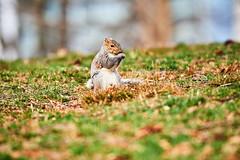 D04_3224 (drkotaku) Tags: centralpark centralparknorth manhattan newyorkcity nikon nikond4 parkphotography photography nikonafsnikkor200500mmf56eedvr squirrel