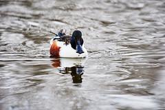 D04_3328 (drkotaku) Tags: centralpark centralparknorth manhattan newyorkcity nikon nikond4 parkphotography photography nikonafsnikkor200500mmf56eedvr birdphotography bird
