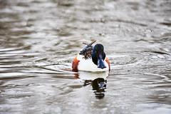 D04_3329 (drkotaku) Tags: centralpark centralparknorth manhattan newyorkcity nikon nikond4 parkphotography photography nikonafsnikkor200500mmf56eedvr birdphotography bird