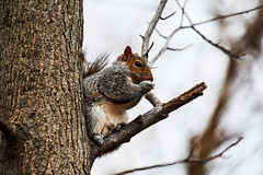 D04_3427 (drkotaku) Tags: centralpark centralparknorth manhattan newyorkcity nikon nikond4 parkphotography photography nikonafsnikkor200500mmf56eedvr squirrel