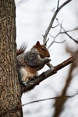 D04_3443 (drkotaku) Tags: centralpark centralparknorth manhattan newyorkcity nikon nikond4 parkphotography photography nikonafsnikkor200500mmf56eedvr squirrel