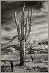 Sabino Canyon IR # 20 2020; Saguaro in the Middle of the Road (hamsiksa) Tags: plants flora desertplants sonorandesert arizona tucson xerophytes succulents cacti cactus cactaceae saguaros carnegieagigantea landscape desertscape blackwhite infrared digitalinfrared