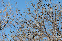 February 15, 2020 - A mass of red-winged blackbirds. (Tony's Takes)