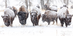 February 9, 2020 - Bison move in the snowstorm. (Tony's Takes)