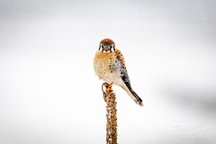 February 9, 2020 - An American kestrel in the snowstorm. (Tony's Takes)