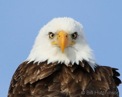 February 12, 2020 - Bald eagle closeup. (Bill Hutchinson)