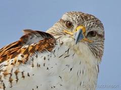 February 12, 2020 - Ferruginous hawk closeup. (Bill Hutchinson)
