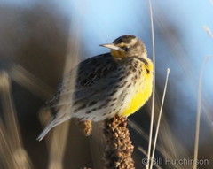 February 15, 2020 - The first western meadowlark of the season. (Bill Hutchinson)