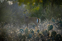 Deer at Dusk (Phil Ostroff) Tags: deer texas dusk sunset