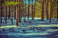 _DSC2639 Whiting Pond Shadows (Charles Bonham) Tags: winter shadows warm cool sun colorcontrast longshadows whitingforest trees snow sonya7rll sonyzeissfe1635mmf4 pines charlesbonhamphotography