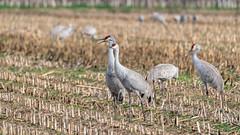 Sandhill Cranes (Bob Gunderson) Tags: birds buttecounty california centralvalley gruscanadensis northerncalifornia sandhillcrane wadingbirds