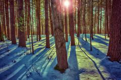 _DSC2652 Whiting Forest Lens Flair (Charles Bonham) Tags: trees winter sun snow cool warm shadows pines longshadows colorcontrast whitingforest sonyzeissfe1635mmf4 sonya7rll charlesbonhamphotography