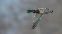 Mallard 8581 (Paul McGoveran) Tags: bif bird birdinflight duck mallard nature nikon500mmf4 nikond850 norfolkcounty ontario portdover wings