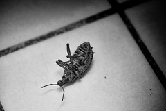 Death in the Toilet (Erich Schieber) Tags: australia macro blackandwhite animal insect beetle toilet