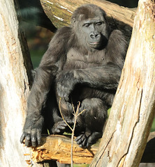 western lowlandgorilla  Burgerszoo BB2A1010 (j.a.kok) Tags: animal africa afrika aap ape mammal monkey mensaap zoogdier dier primate primaat gorilla westelijkelaaglandgorilla westernlowlandgorilla lowlandgorilla laaglandgorilla burgerszoo