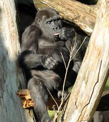 western lowlandgorilla  Burgerszoo BB2A1096 (j.a.kok) Tags: animal africa afrika aap ape mammal monkey mensaap zoogdier dier primate primaat gorilla westelijkelaaglandgorilla westernlowlandgorilla lowlandgorilla laaglandgorilla burgerszoo