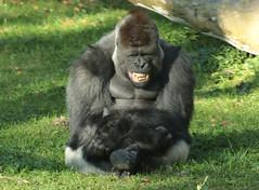western lowlandgorilla Bauwi Burgerszoo BB2A1033 (j.a.kok) Tags: animal africa afrika aap ape mammal monkey mensaap zoogdier dier primate primaat gorilla westelijkelaaglandgorilla westernlowlandgorilla lowlandgorilla laaglandgorilla burgerszoo zilverrug silverback bauwi