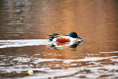 D04_3373 (drkotaku) Tags: centralpark centralparknorth manhattan newyorkcity nikon nikond4 parkphotography photography nikonafsnikkor200500mmf56eedvr birdphotography bird