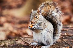 D04_3580 (drkotaku) Tags: centralpark centralparknorth manhattan newyorkcity nikon nikond4 parkphotography photography nikonafsnikkor200500mmf56eedvr squirrel