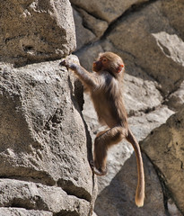 Baby Baboon Working on Climbing Skills (petersonao) Tags: sandiegozoo sonyrx10m4 hamadryasbaboon
