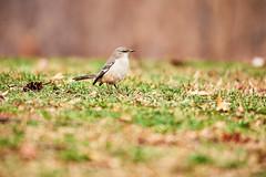 D04_3241 (drkotaku) Tags: centralpark centralparknorth manhattan newyorkcity nikon nikond4 parkphotography photography nikonafsnikkor200500mmf56eedvr birdphotography bird