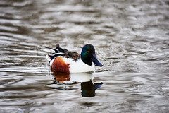 D04_3325 (drkotaku) Tags: centralpark centralparknorth manhattan newyorkcity nikon nikond4 parkphotography photography nikonafsnikkor200500mmf56eedvr birdphotography bird