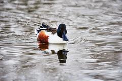 D04_3327 (drkotaku) Tags: centralpark centralparknorth manhattan newyorkcity nikon nikond4 parkphotography photography nikonafsnikkor200500mmf56eedvr birdphotography bird