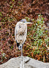 D04_3343 (drkotaku) Tags: centralpark centralparknorth manhattan newyorkcity nikon nikond4 parkphotography photography nikonafsnikkor200500mmf56eedvr birdphotography bird