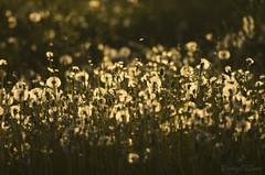 Remembering the dandelions spring with the 300mm* lens (Dmitriy'Os'Ivanov) Tags: pentaxk5 pentaxda300mmf4 meadow spring dandelions fluffy landscape landscapebeauty 300mm nature plants flowers evening sunset вечер луг весна пейзаж природа цветы одуванчики пушистые bokeh боке